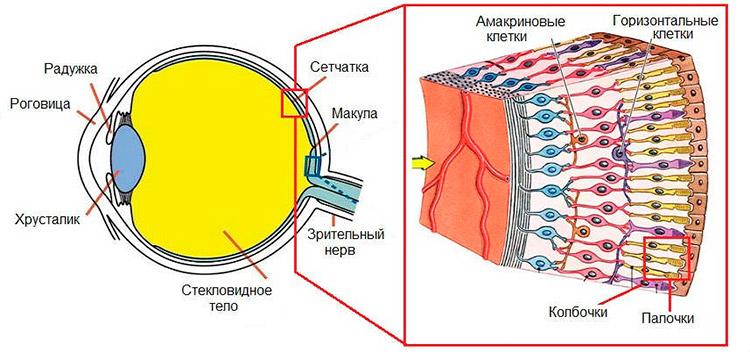 структуру сетчатки